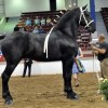 Driving Radio Show Episode 238 – First Time in the Carriage and 80 Percherons